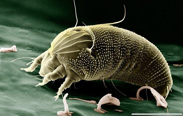 Foto einer Milbe